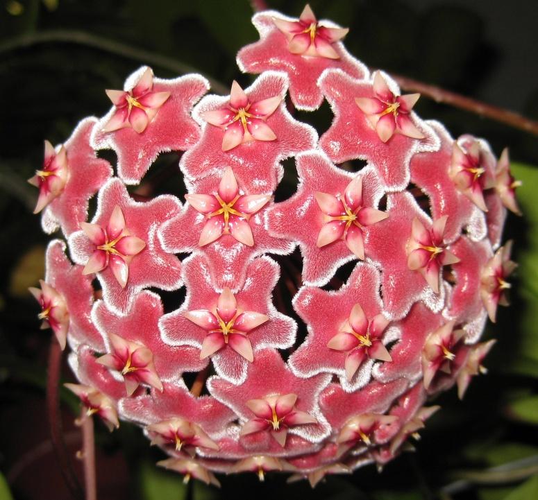 Hoya purpurea-fusca