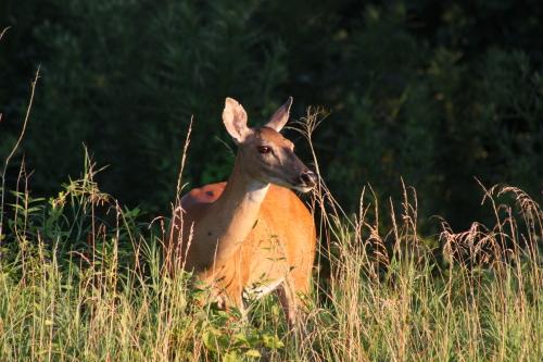 deer-cambridge