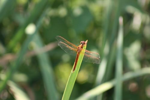 dragonfly-cambridge